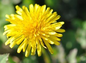 dandelion_herbs_flower