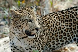 leopard-cat-savuti-botswana-37535